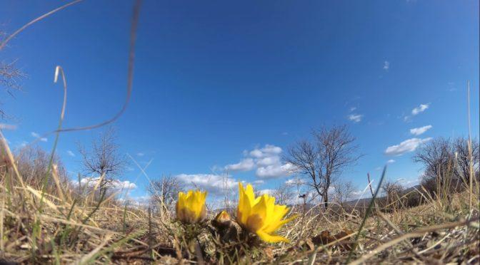 Virágban a tavaszi hérics
