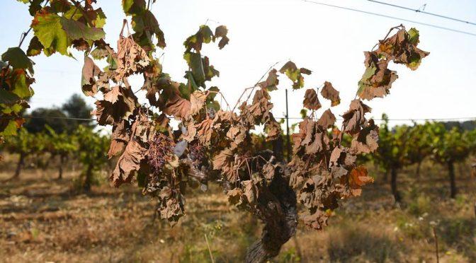 Kiégett szőlőültetvények Franciaországban a hőség után