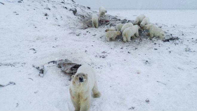 Lerohantak a jegesmedvék egy orosz falut