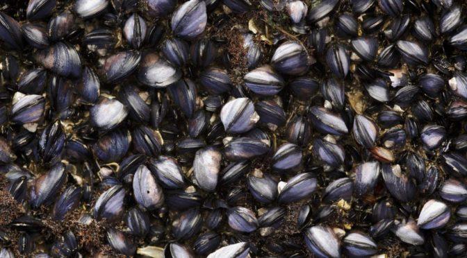 Több millió kagyló főtt meg a kanadai hőhullámban